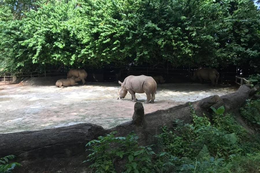 Singapore Zoo Rhino